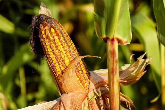 Капково-напояване-Агродрип-приложения-царевица