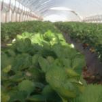 Мулчиращо фолио за ягоди